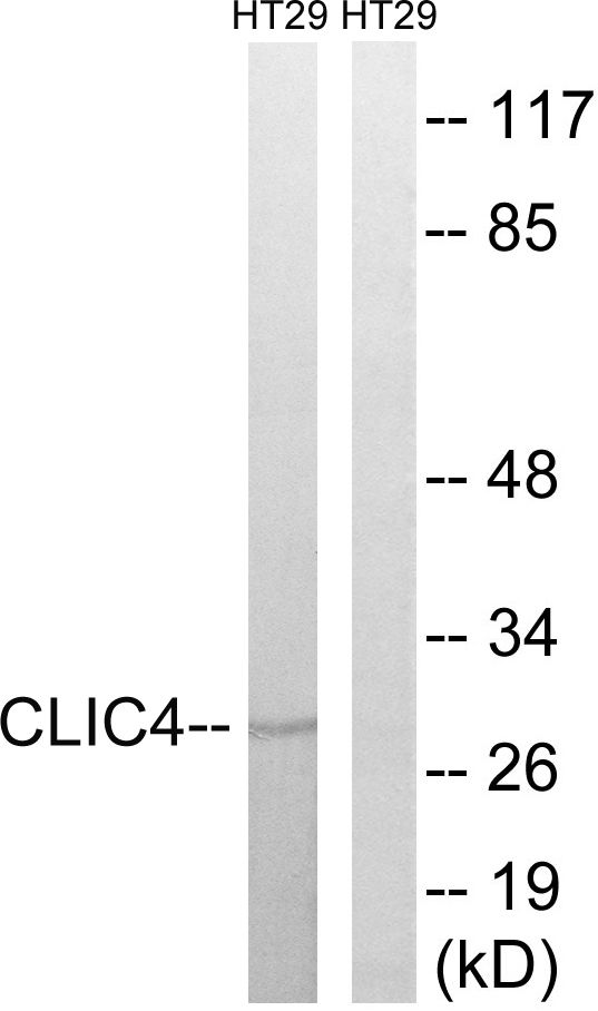 CLIC4 Antibody (OAAF03488) in HT-29 cells using Western Blot