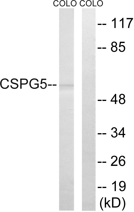 CSPG5 Antibody (OAAF03492) in COLO cells using Western Blot
