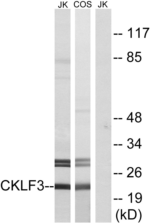 CMTM3 Antibody (OAAF03499) in Jurkat, COS cells using Western Blot