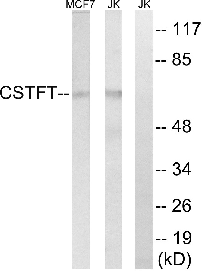 CSTF2T Antibody (OAAF03505) in MCF-7, Jurkat cells using Western Blot