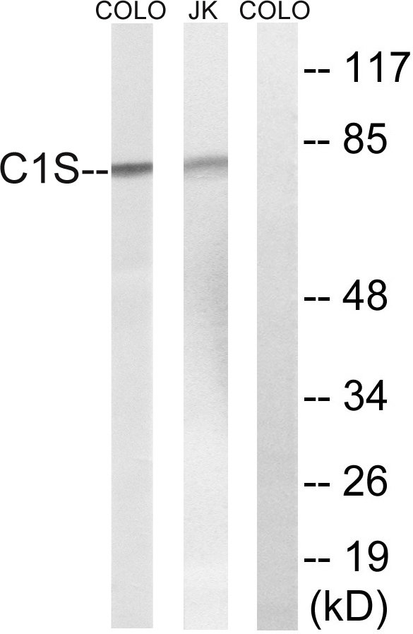 C1S Antibody (OAAF03519) in Jurkat, COLO cells using Western Blot