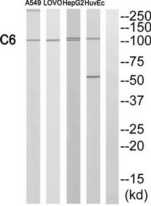 C6 Antibody (OAAF03521) in A549, LOVO, HepG2 cells using Western Blot