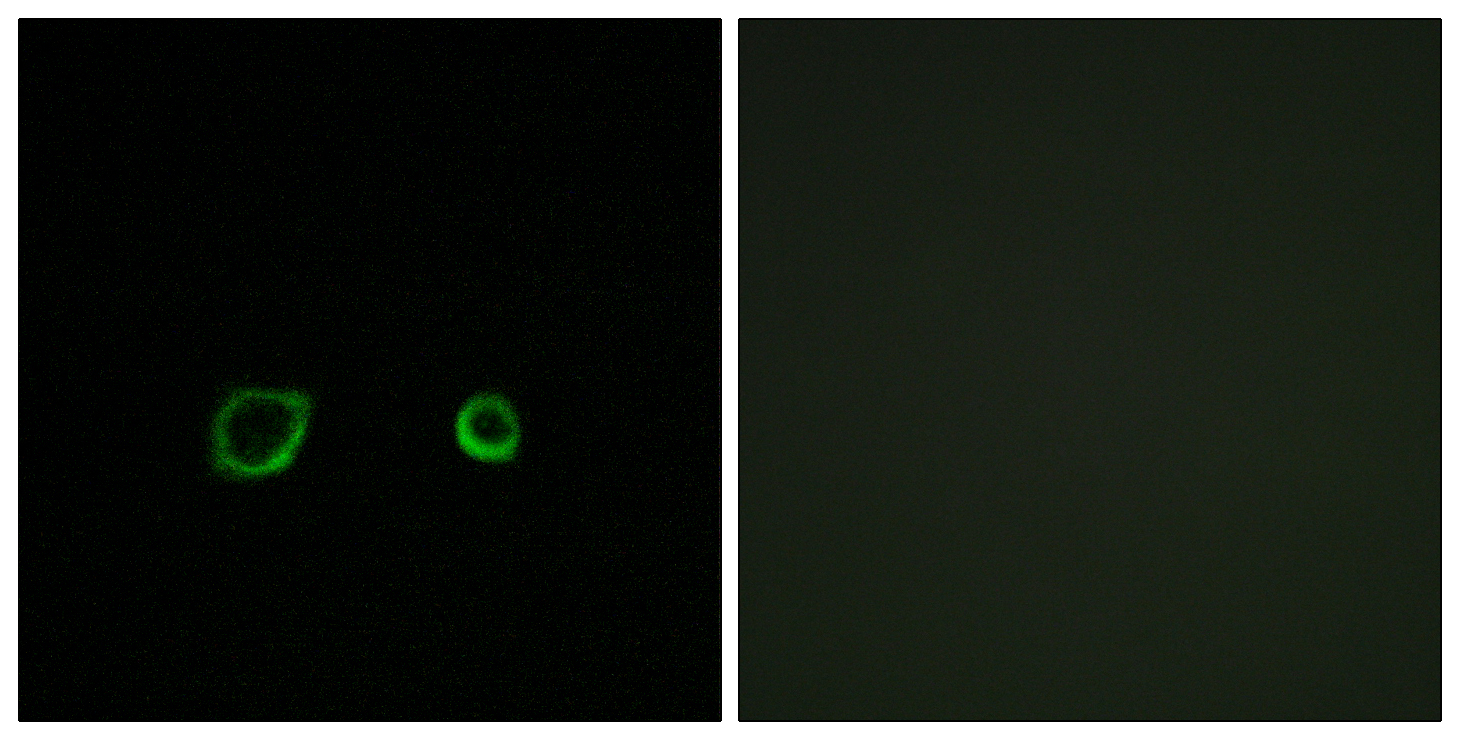 CNTN4 Antibody (OAAF03529) in A549 cells using Immunofluorescence
