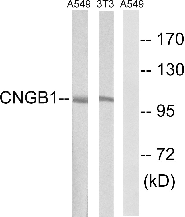 CNGB1 Antibody (OAAF03536) in A549, 3T3 cells using Western Blot