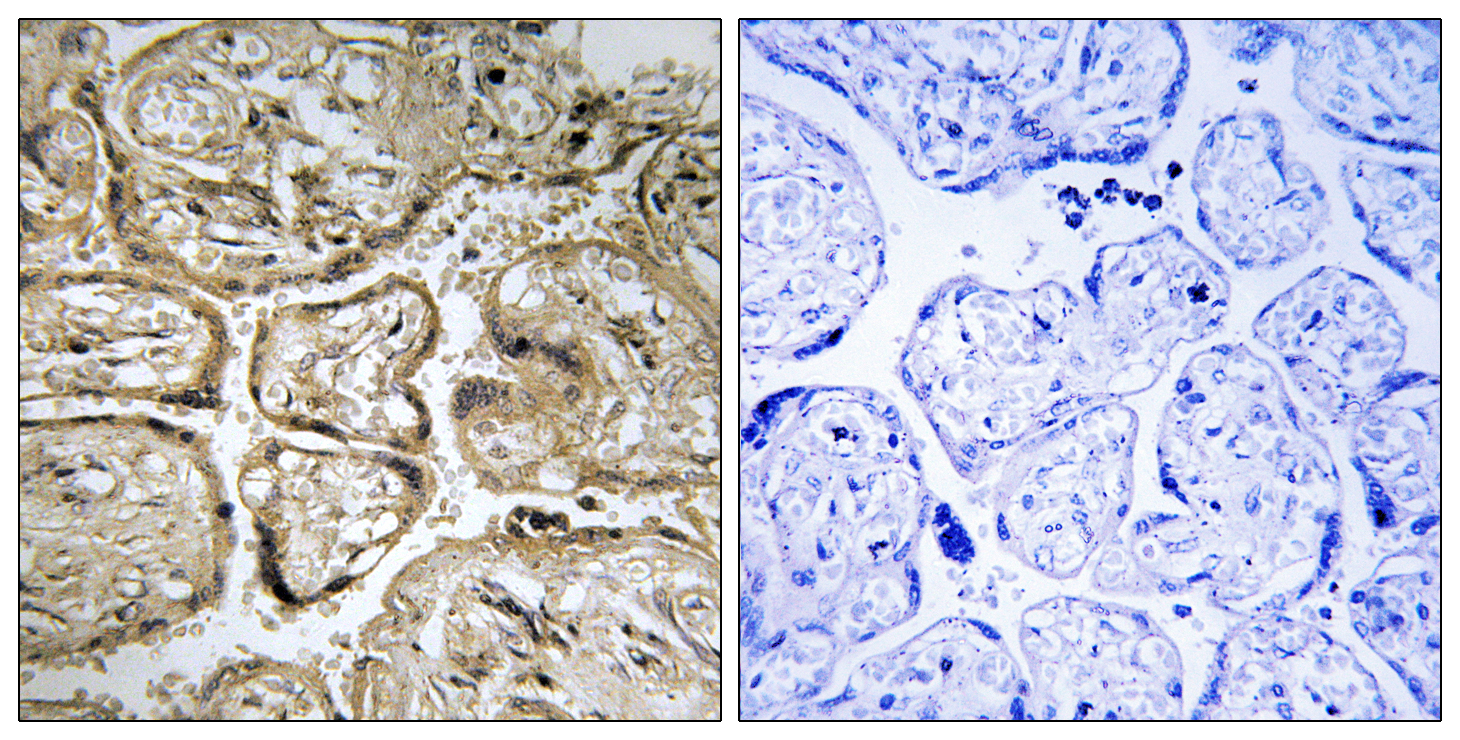 CST9L Antibody (OAAF03540) in Human placenta cells using Immunohistochemistry