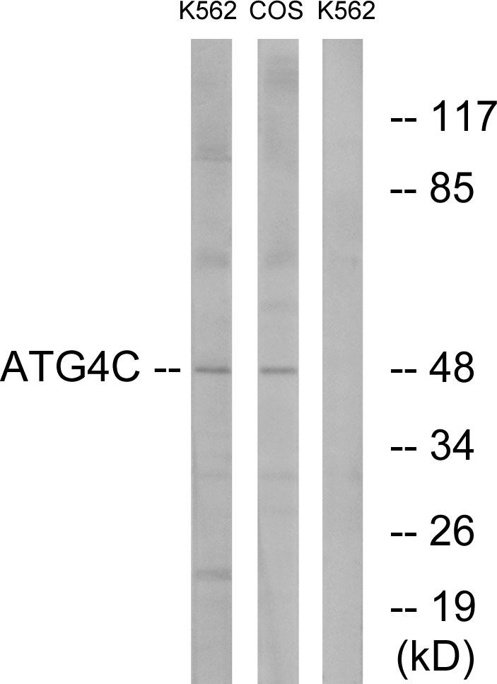 ATG4C Antibody (OAAF03546) in K562, COS7 cells using Western Blot