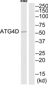 ATG4D Antibody (OAAF03547) in K562 cells using Western Blot