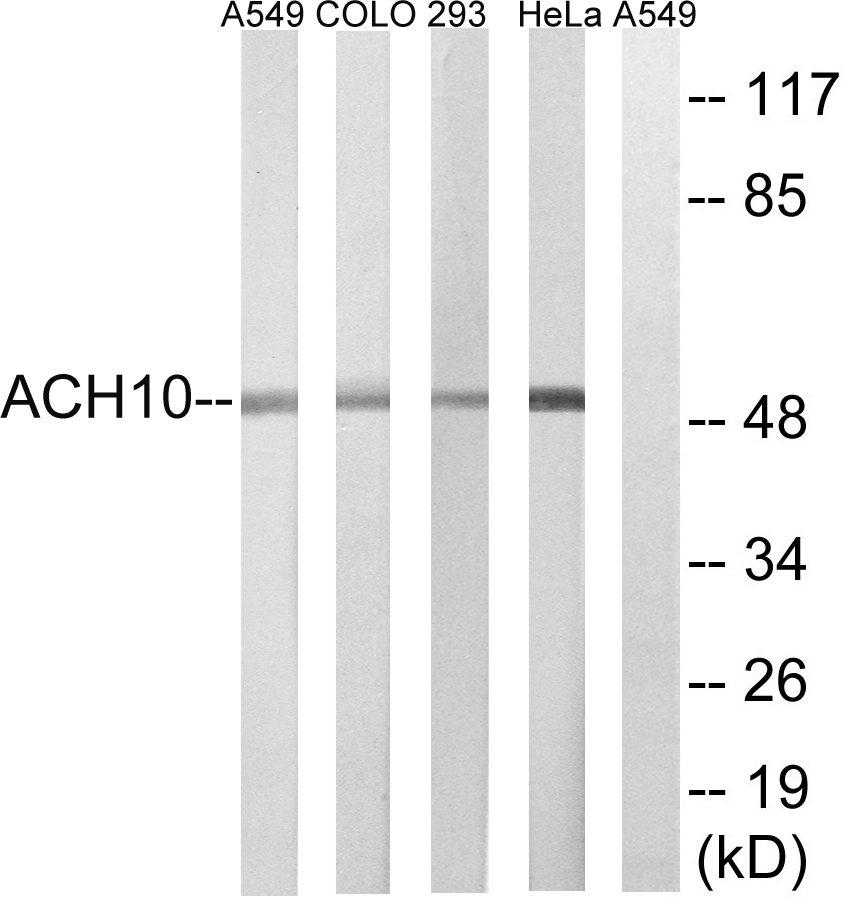 CHRNA10 Antibody (OAAF03922) in A549, COLO, HeLa, 293 cells using Western Blot