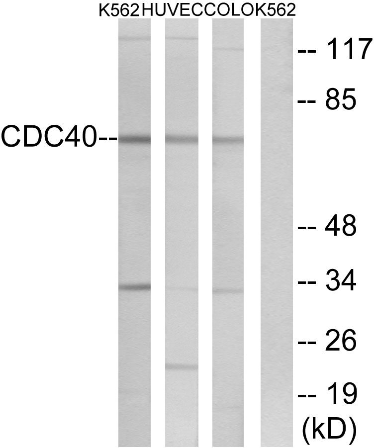 CDC40 Antibody (OAAF04051) in K562, HUVEC, COLO cells using Western Blot