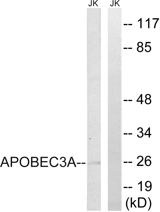 APOBEC3A Antibody (OAAF04060) in Jurkat cells using Western Blot
