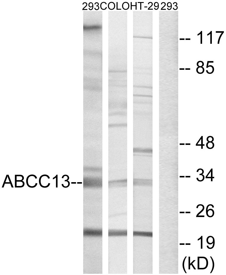 ABCC13 Antibody (OAAF04095) in 293, COLO, HT-29 cells using Western Blot