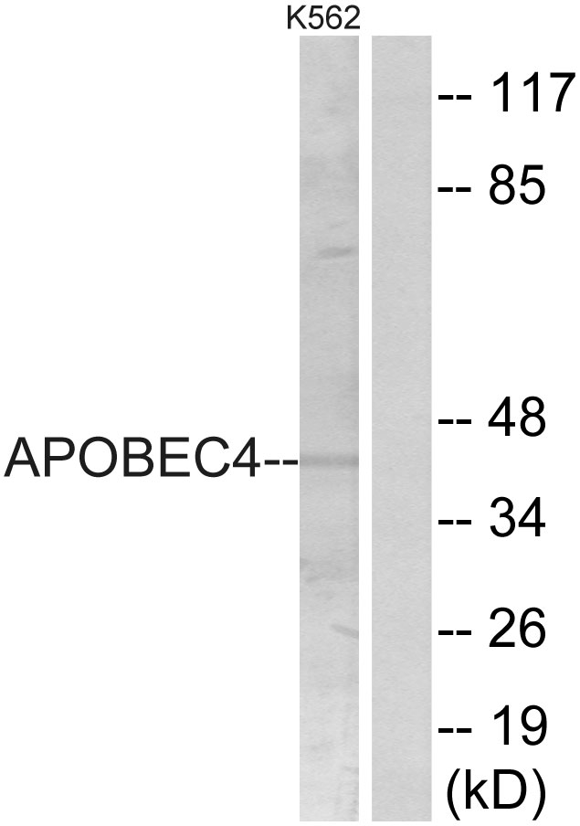 APOBEC4 Antibody (OAAF04096) in K562 cells using Western Blot