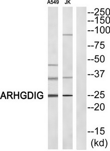 ARHGDIG Antibody (OAAF04178) in A549, Jurkat cells using Western Blot