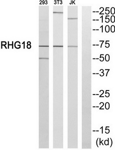 ARHGAP18 Antibody (OAAF04183) in 293, NIH-3T3, JurKat cells using Western Blot