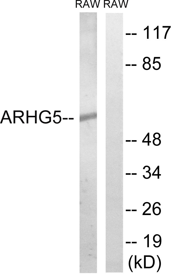 ARHGEF5 Antibody (OAAF04193) in RAW264.7 cells using Western Blot