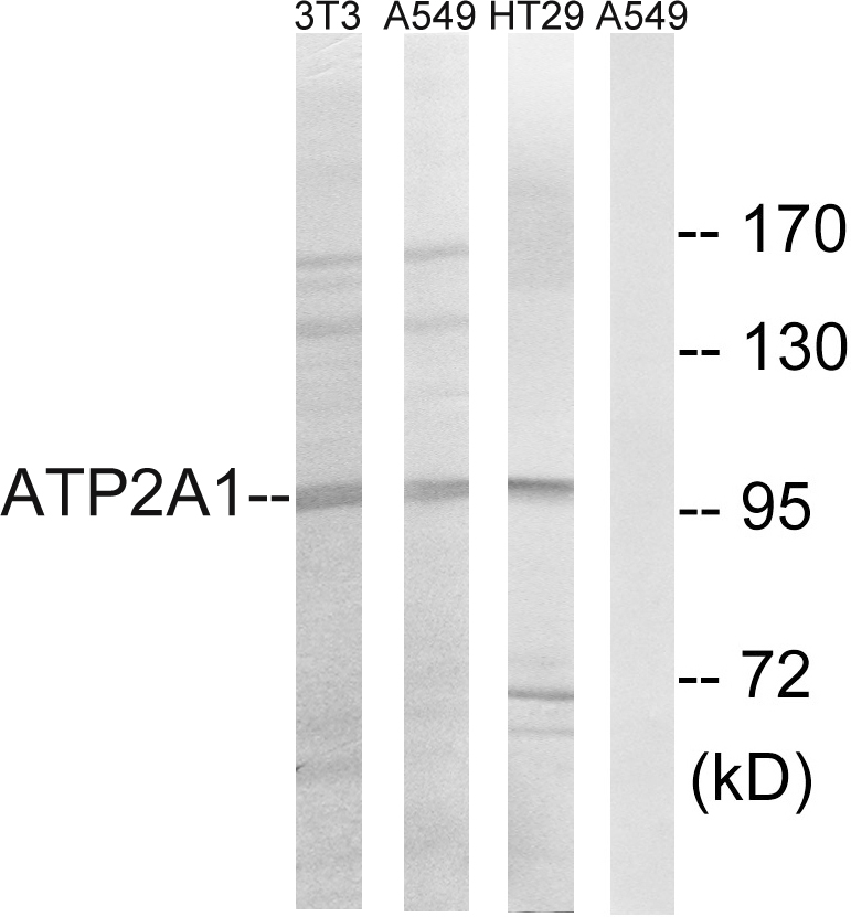 ATP2A1 Antibody (OAAF04221) in NIH-3T3, A549, HT-29 cells using Western Blot