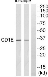 CD1E Antibody (OAAF04357) in HuvEc, HepG2 cells using Western Blot