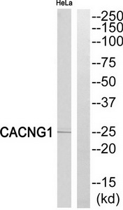 CACNG1 Antibody (OAAF04448) in HeLa cells using Western Blot