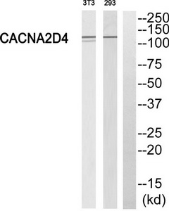 CACNA2D4 Antibody (OAAF04451) in 293, 3T3 cells using Western Blot
