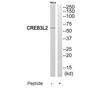 CREB3L2 Antibody (OAAF04514) in HeLa cells using Western Blot