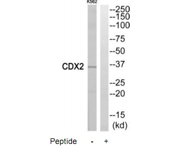 CDX2 Antibody (OAAF04533) in K562 cells using Western Blot