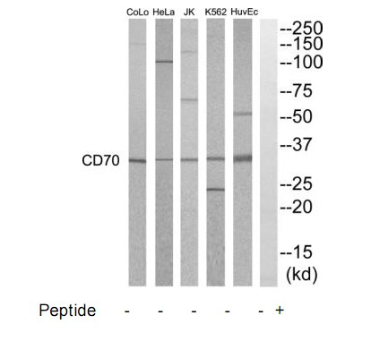 CD70 Antibody (OAAF04551) in HuvEC, K562, HepG2, Jurkat, HeLa, COLO205 cells using Western Blot