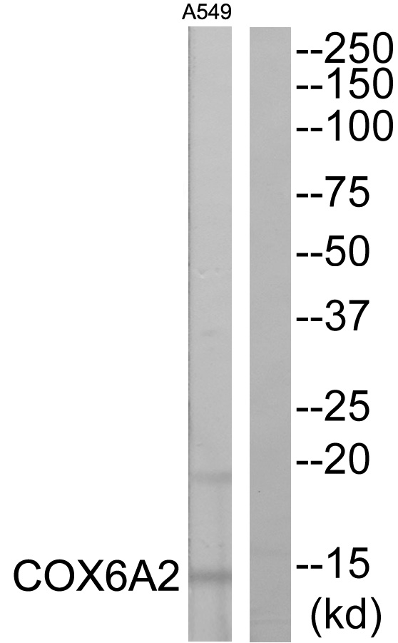 COX6A2 Antibody (OAAF04553) in A549 cells using Western Blot