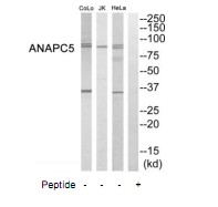 ANAPC5 Antibody (OAAF04591) in HeLa, Jurkat, COLO205 cells using Western Blot