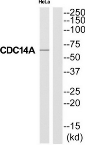 CDC14A Antibody (OAAF04592) in HeLa cells using Western Blot