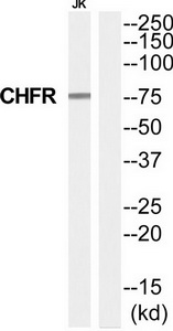 CHFR Antibody (OAAF04593) in Jurkat cells using Western Blot