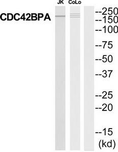 CDC42BPA Antibody (OAAF04650) in Jurkat, COLO205 cells using Western Blot