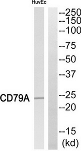 CD79A Antibody (OAAF04671) in HuvEc cells using Western Blot