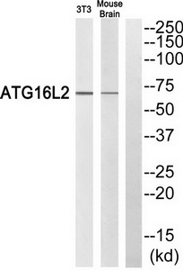 ATG16L2 Antibody (OAAF04686) in 3T3, Mouse brain cells using Western Blot