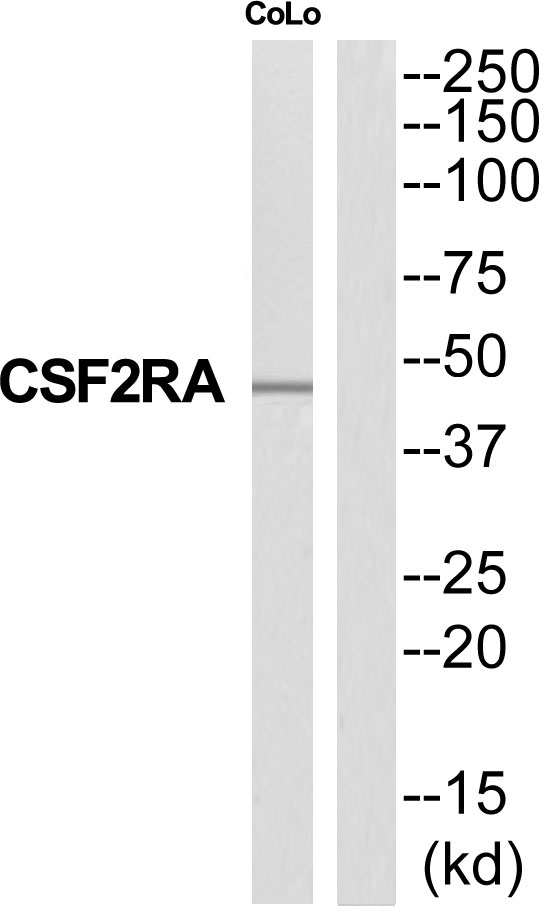 CSF2RA Antibody (OAAF04692) in COLO205 cells using Western Blot