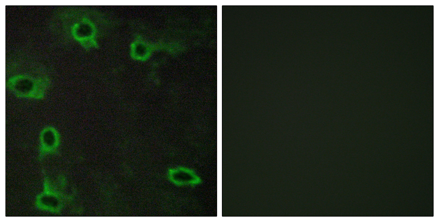ADORA2A Antibody (OAAF04765) in COS7 cells using Immunofluorescence