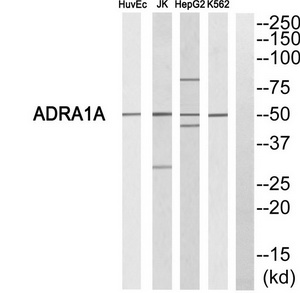 ADRA1A Antibody (OAAF04769) in HuvEc, Jurkat, HepG2, K562 cells using Western Blot