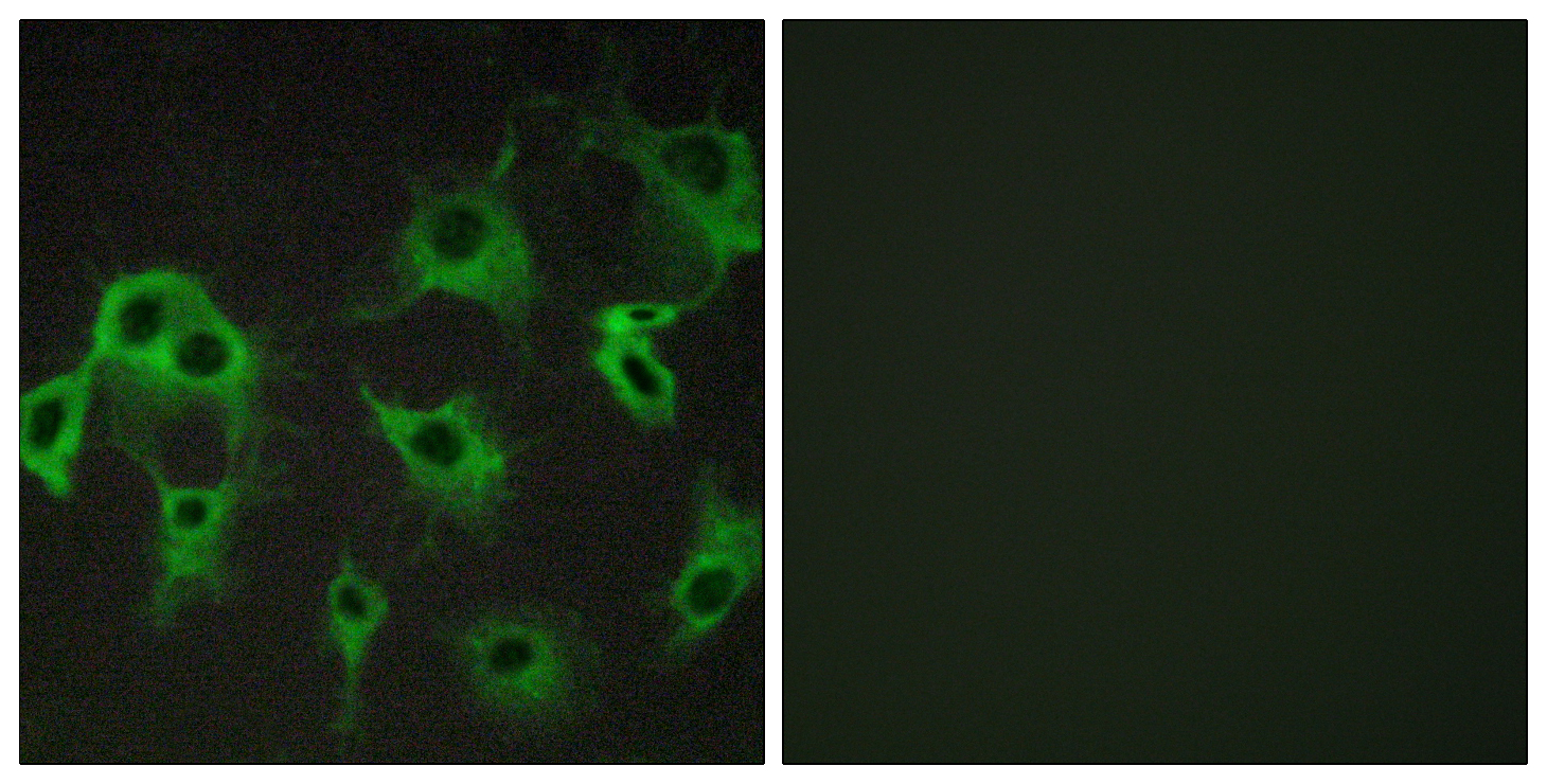 ADRB2 Antibody (OAAF04772) in COS-7 cells using Immunofluorescence
