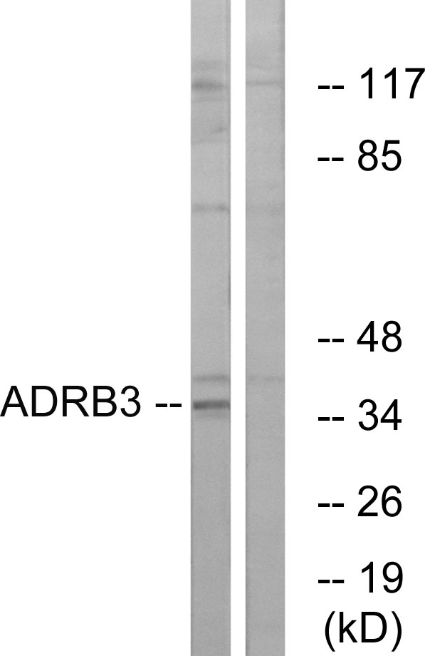 ADRB3 Antibody (OAAF04773) in K562 cells using Western Blot