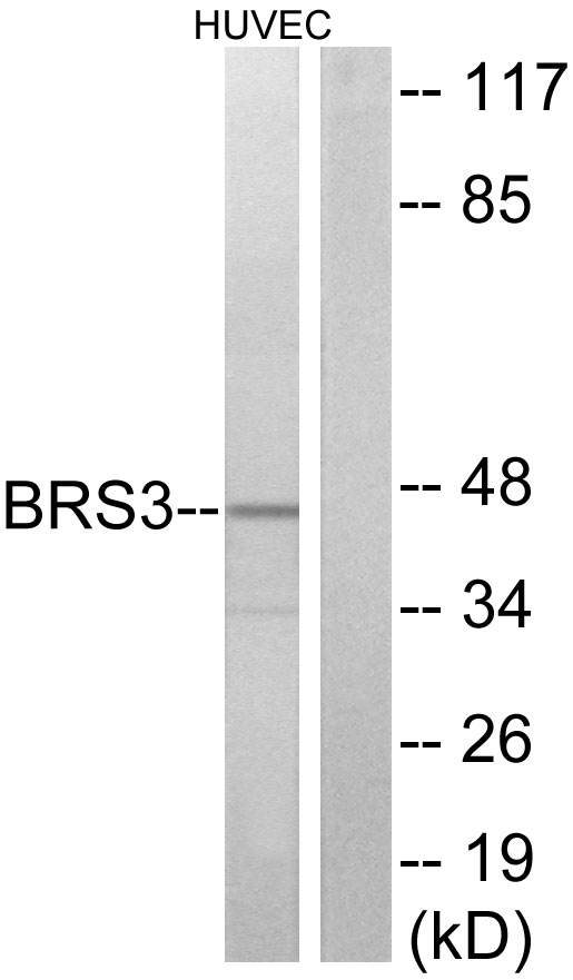 BRS3 Antibody (OAAF04774) in HUVEC cells using Western Blot