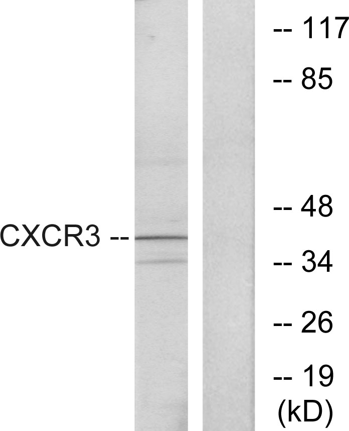 CXCR3 Antibody (OAAF04780) in K562 cells using Western Blot