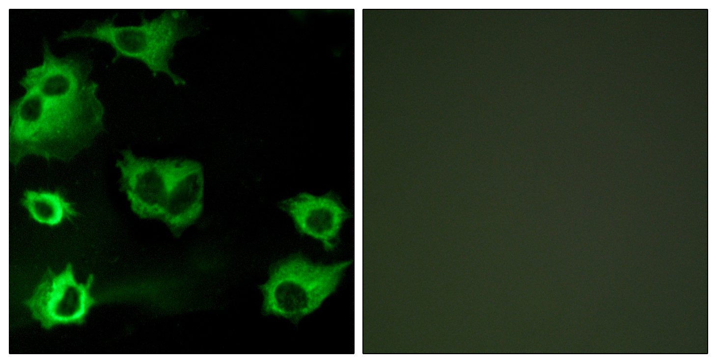 CYSLTR1 Antibody (OAAF04788) in COS-7 cells using Immunofluorescence