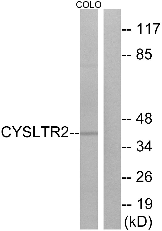 CYSLTR2 Antibody (OAAF04789) in COLO cells using Western Blot