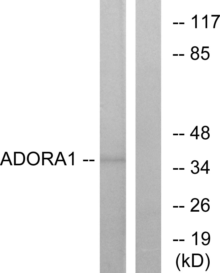 ADORA1 Antibody (OAAF04847) in MCF-7 cells using Western Blot