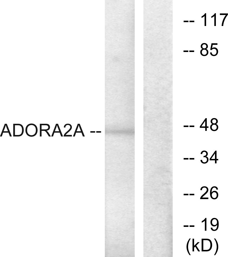 ADORA2A Antibody (OAAF04848) in HepG2 cells using Western Blot