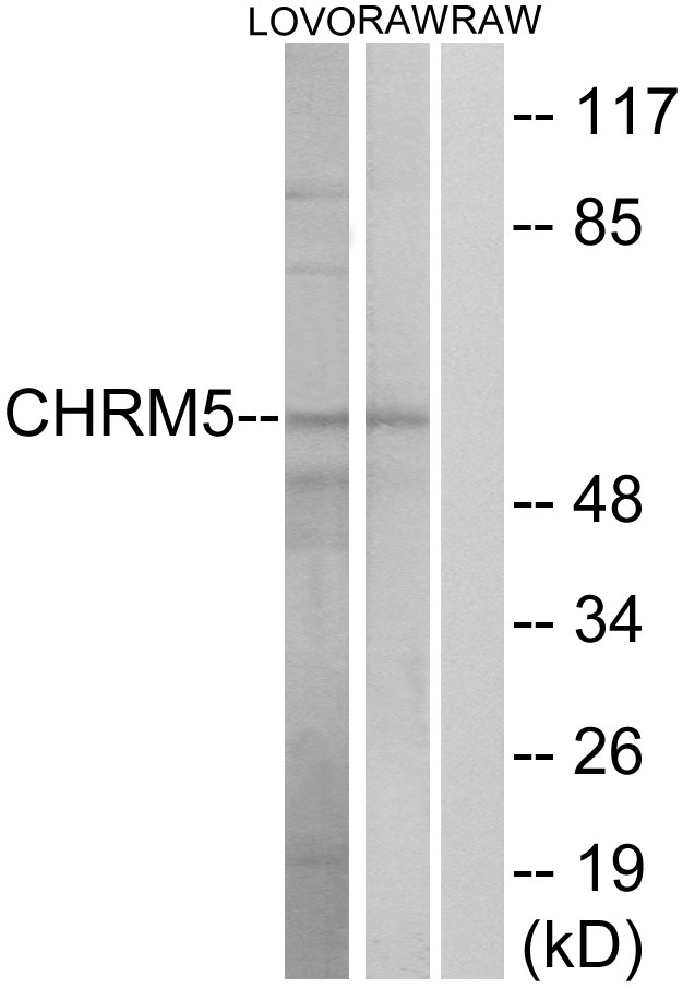 CHRM5 Antibody (OAAF04854) in Jurkat cells using Western Blot