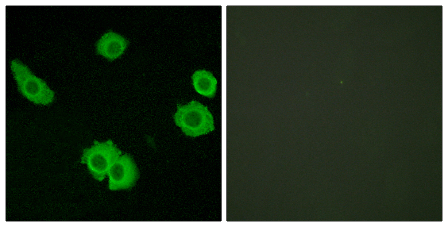BAI3 Antibody (OAAF04859) in HuvEc cells using Immunofluorescence