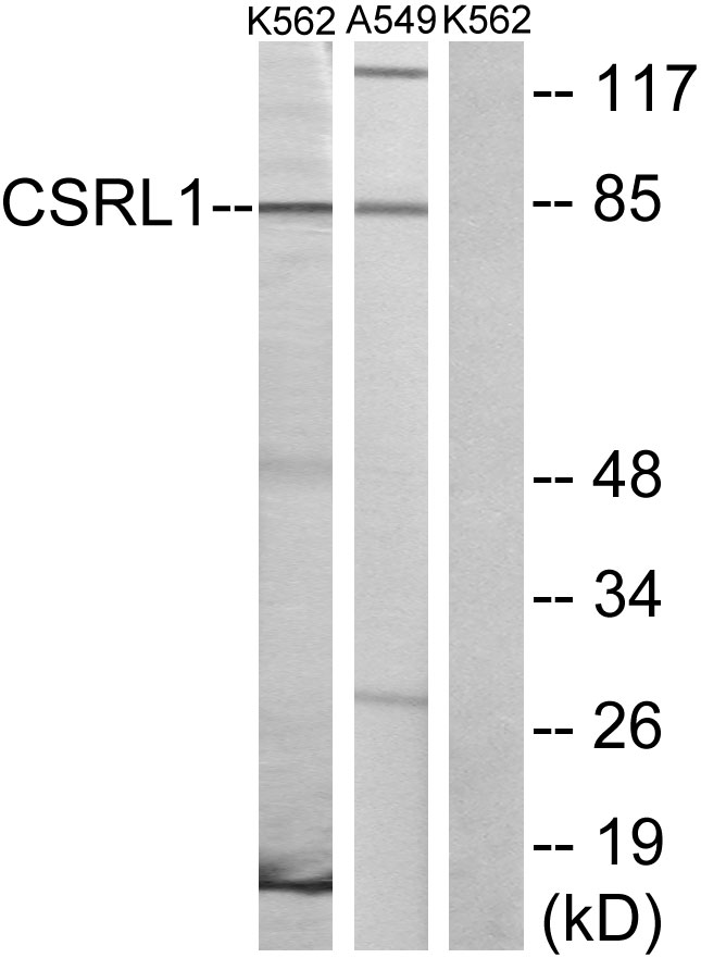 CSRL1 Antibody (OAAF04871) in K562, A549 cells using Western Blot