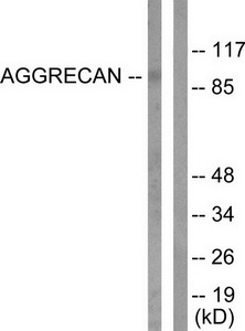 ACAN (Cleaved-Asp369) Antibody (OAAF05311) in Jurkat cells using Western Blot