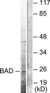 BAD (Cleaved-Asp71) Antibody (OAAF05312) in 293 cells using Western Blot