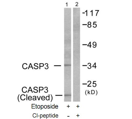 CASP3 (Cleaved-Asp175) Antibody (OAAF05315) in HeLa cells using Western Blot
